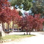 Cherry Plum (Cerasífera)