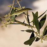 Olive (Oliva)