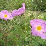 Rock Rose (Heliantemo)