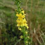 Agrimony (Agrimonia), la flor de Bach para los que intentan ocultar sus problemas