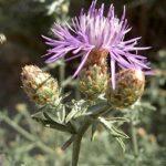 Centaury (Centáurea), la flor de Bach para los que se someten a la voluntad de los demás