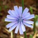 Chicory (Achicoria), la flor de Bach para los que se preocupan en exceso por los demás