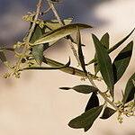 Olive (Oliva), la flor de Bach para el cansancio extremo, físico y mental