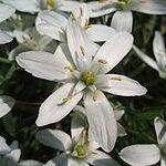Star of Bethlehem (Leche de Gallina), la flor de Bach para los estados de shock