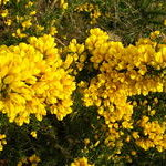 Gorse (Aulaga), flor de Bach para los que han perdido la esperanza