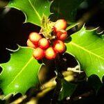 Holly (Acebo), la flor de Bach para los que tienden a tener sentimientos negativos