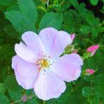Wild Rose (Escaramujo), la flor de Bach para la apatía y la indiferencia