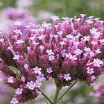 Vervain (Verbena), la flor de Bach para los que quieren cambiar a los demás
