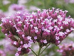 Vervain (Verbena), Flor de para los que quieren cambiar a los demás