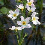 Water Violet (Violeta de Agua), la flor de Bach para las personas reservadas y solitarias