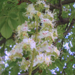 White Chestnut (Castaño de Indias), la flor de Bach para los pensamientos indeseados