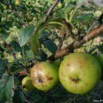 Crab Apple (Manzano Silvestre), la flor de Bach para las personas obsesionadas conla limpieza, tanto física como psíquica